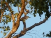 Nankeen Night Heron. Sonya Duus
