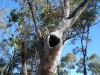 Tree hollow in Euc. populnea. Maureen Cooper
