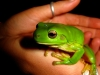 Green Tree Frog by Josie Fraser