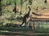 Eastern Grey Kangaroo_Maropus giganteus_Bimblebox NR_Jan16. Paul Horner