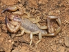 Scorpion_Urodacus sp._Bimblebox NR_Jan16. Paul Horner