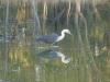 White-necked Heron. Sonya Duus