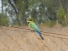 Rainbow Bee-eater. Sonya Duus