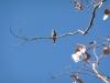 Female White-browed Woodswallow. Sonya Duus