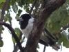 Pied Butcherbird. Sonya Duus