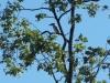 Blue-winged Kookaburra. Sonya Duus