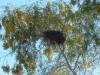 Suspected Babblers nest. Sonya Duus