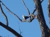 Grey-Crowned Babbler. Sonya Duus