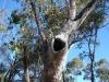 Tree hollow in Euc. populnea. Maureen Cooper