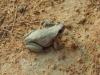 desert-tree-frog