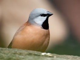 Black-throated Finch (Endangered)