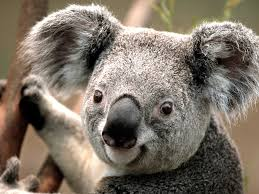 Koala (Vulnerable)