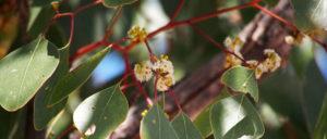 Bimblebox flowers and roundish leavesish